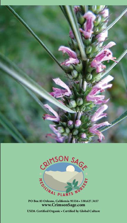 5 Organic Grown Yerba Mansa Bog Marginal Pond plants