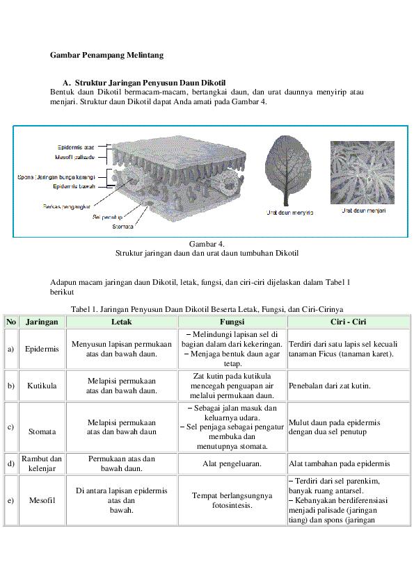 Struktur Penampang Batang Monokotil Dan Dikotil
