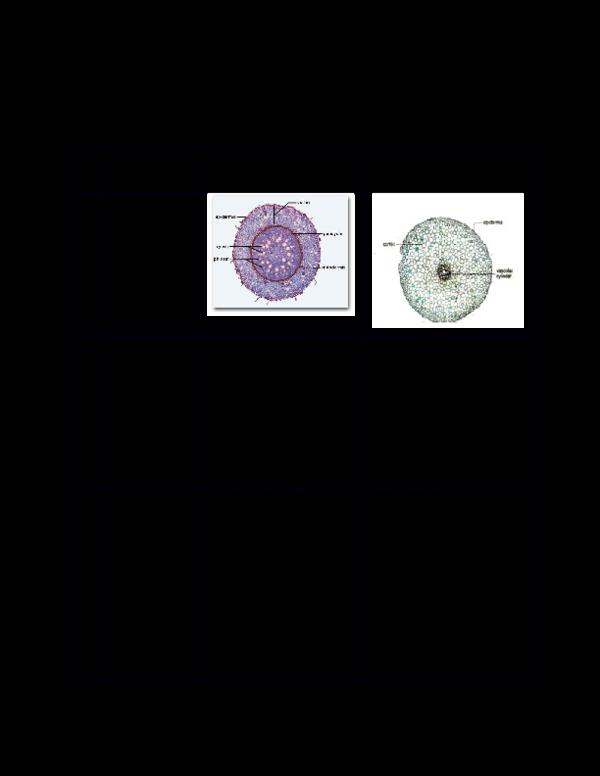 Perbedaan Struktur Akar Dikotil Dan Monokotil Berbagai Struktur