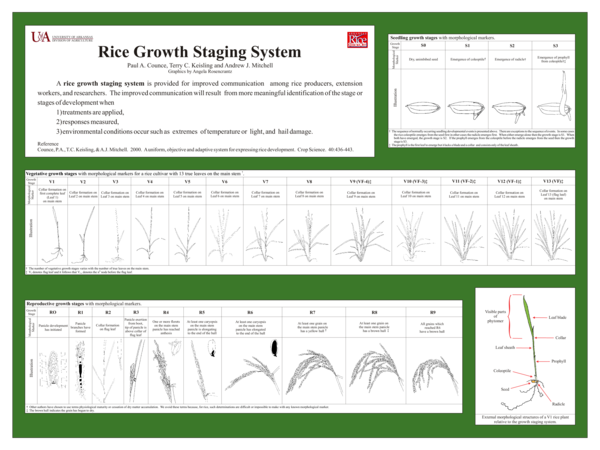 PDF) Rice Growth Staging Poster (English)   Paul Counce